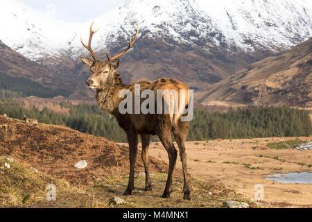 Wild Red Deer (Cervus Elaphus) Rothirsch im Glen Etive, Schottland, im Winter, mit Schnee bedeckte Berge im Hintergrund. Stockfoto
