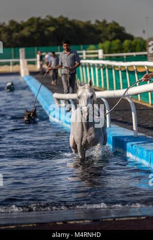 Dubai, VAE. - Jan 10, 2018. Rennpferde Übung in der Equiden Schwimmbad in Dubai UAE - Stockfoto