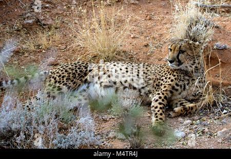 Gepard ist eine große Katze der Unterfamilie Felinae. Bild in der afrikanischen Savanne, Namibia genommen - Stockfoto