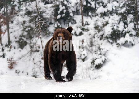 Schließen wild grosser brauner Bär im Winter Wald - Stockfoto