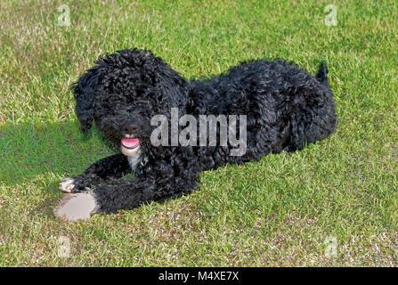 Junge schwarze portugiesischer Wasser Hund liegend im Gras und schaut in die Kamera - Stockfoto