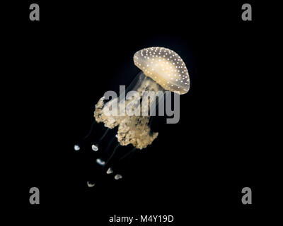 Ein weiß gefleckte Quallen (Phyllorhiza punctata) Floating in einem Aquarium - Stockfoto