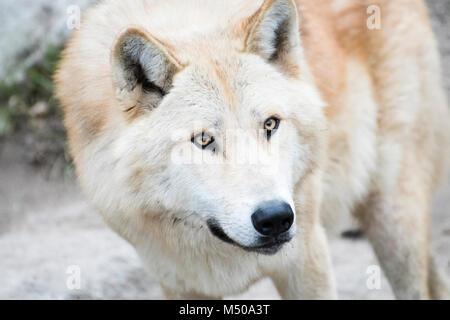 Madrid, Spanien. 19. Februar, 2018. Nordwestlichen Wolf (Canis Lupus Occidentalis) am Zoo Madrid am 19. Februar - Stockfoto