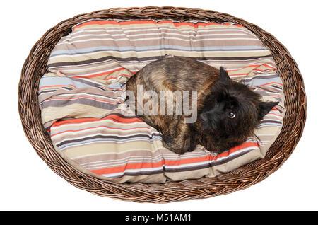 Cairn Terrier in Ihrem Korb auf der Matratze - Stockfoto