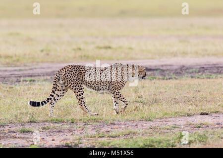 Cheetah gehen auf die Savanne - Stockfoto