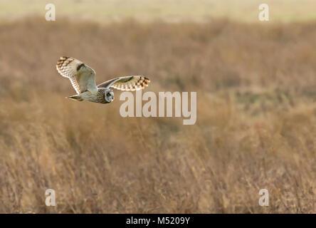Sumpfohreule Jagd - Stockfoto