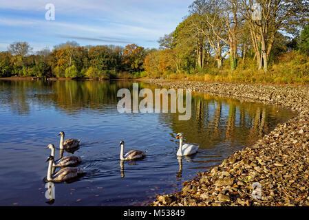 UK, Somerset, Schwäne auf Mangold Behälter & Natur finden - Stockfoto