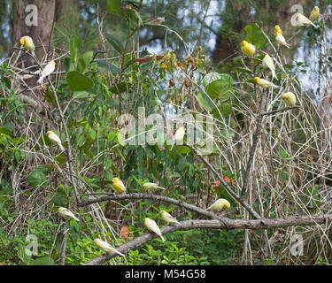 Herde wilder Kanarienvogel (Serinus canaria) stammt von Pet Vögel auf Midway Atoll über einem Jahrhundert veröffentlicht - Stockfoto