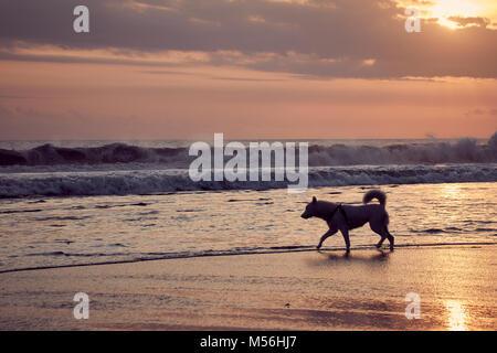 Solo Hund am Strand bei Sonnenuntergang auf Bali, Indonesien ausgeführt - Stockfoto