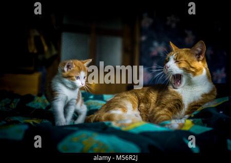 Ein sechs Wochen altes Kätzchen Uhren Mutter Katze morgen Gähnen. - Stockfoto