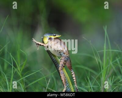Tree Snake Essen Frosch - Stockfoto