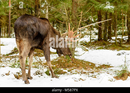 Elch (Alces alces) Stier Essen auf eine Fichte Zweig. Schnee auf dem Boden. - Stockfoto