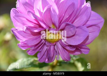 Schönes Licht lila Dekorative Dahlie Blume im Garten. Foto - Stockfoto