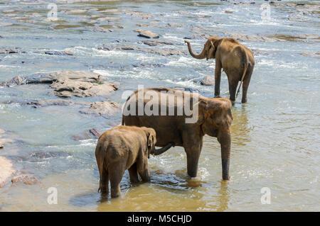 Die asiatischen Elefanten (Elephas maximus) Baden in der Maha Oya Fluß an der Pinnawala Elefanten Waisenhaus, Kärnten - Stockfoto