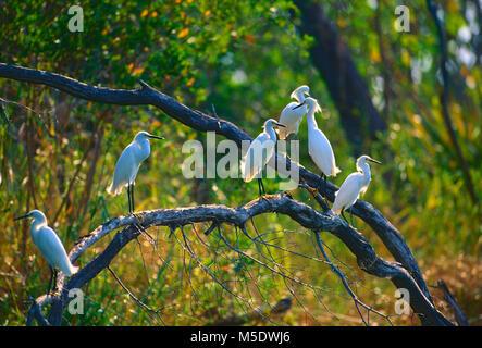 Snowy Egret, Egretta thula, Ardeidae, Reiher, Graureiher, Vogel, Tier, die Lagarta Lodge, Tamarindo, Costa Rica - Stockfoto