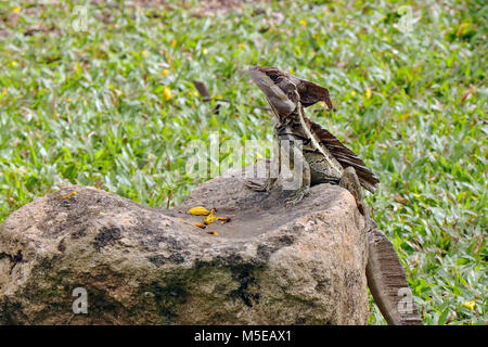 Braun Basilisk (Basiliscus vittatus) Sonnenbaden auf einem Felsen in der tarcoles, Costa Rica.