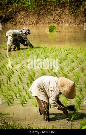 Zwei Frauen mit asiatischen konischen Hüten Reisanbau in einem gefluteten Reisfeld Feld. Junge Reispflanzen, die - Stockfoto