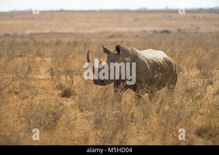 Ein weißes Nashorn oder Nashörner (Rhinocerotidae)) in hohen trockenes Gras, Nairobi National Park, Kenia - Stockfoto