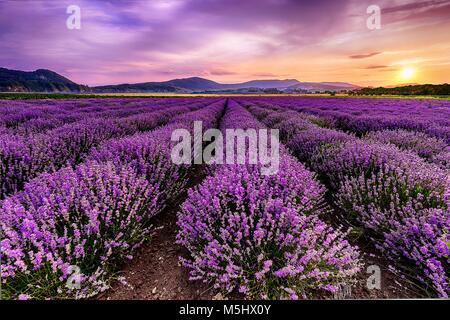 Lavendelfeld in Bulgarien bei Sonnenuntergang. Schöne frangant Feld. - Stockfoto