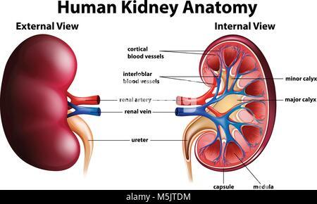 Darstellung der menschlichen Niere Anatomie auf Papier Abbildung ...
