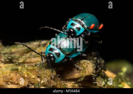 Zwei wunderschöne blaue Blatt Käfer von Ecuador - Stockfoto