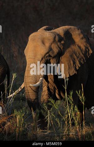 Afrikanischer Elefant (Loxodonta africana) Ernährung, Krüger Nationalpark, Südafrika Stockfoto
