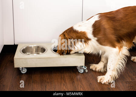 Springer Spaniel Essen - Stockfoto