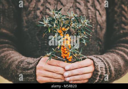 Frau Hände halten Sanddornbeeren Bio Lebensmittel gesunde Lebensweise Pflanze frisch gepflückt gemütliche Strickpullover - Stockfoto