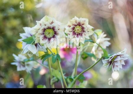 Helleborus × hybridus Harvington Schlagsahne gesprenkelt. Germer. Fastenzeit rose - Stockfoto
