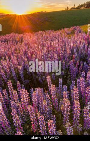 Sonnenuntergang, Lupine, Lupinus angustifolius, Childs Hill Prairie, Redwood National Park, Kalifornien - Stockfoto