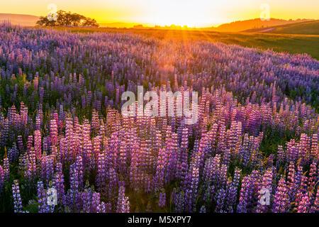 Sonnenuntergang, Lupine, Lupinus angustifolius, Williams Ridge, Redwood National Park, Kalifornien - Stockfoto