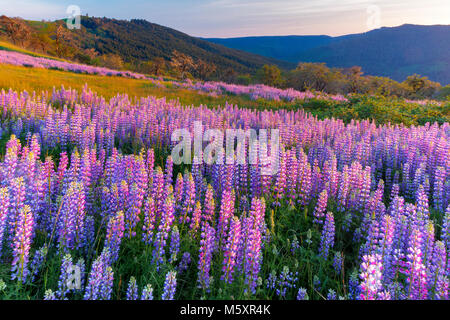 Sonnenuntergang, Lupine, Childs Hill Prairie, Redwood National Park, Kalifornien - Stockfoto