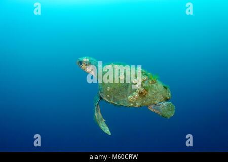 Alte Karettschildkröte mit Schildkröte barnacle. Mittelmeer, Kroatien, Rovinj, Istrien, Kroatien - Stockfoto