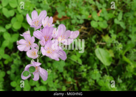 Welche Blumen Blühen Im September colchicum autumnale herbst zeit weniger mehrjährig blumen birne