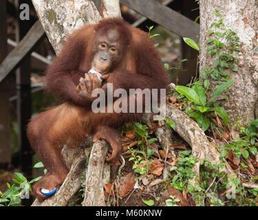 Wild bornesischen Orang-utan (Pongo pygmaeus) junge männliche Essen aus verworfen, jar, und greifen Sie den Deckel - Stockfoto