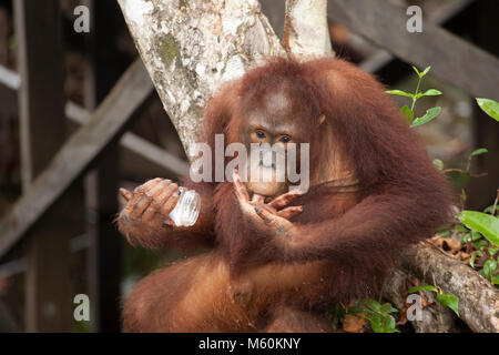 Wild bornesischen Orang-utan (Pongo pygmaeus) junge männliche lecken Finger mit Essen von weggeworfenen Jar - Stockfoto