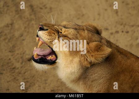 Brüllende Löwin in der Savanne Stockfoto