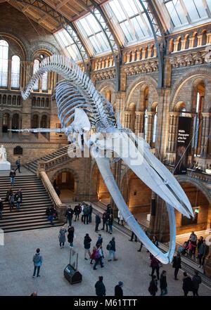 Weibliche Blue Whale Skelett namens 'Hoffnung' in der Hintze Hall, Natural History Museum, London, UK - Stockfoto