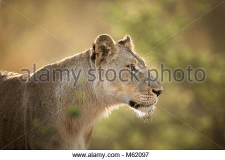 Portrait einer weiblichen Löwe Panthera leo, beleuchtete. - Stockfoto