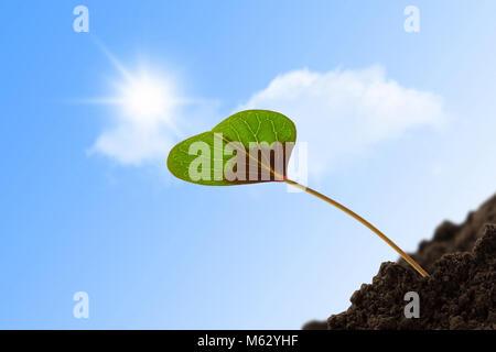Junge einzelne Kleeblatt Herz in der Sonne - Stockfoto