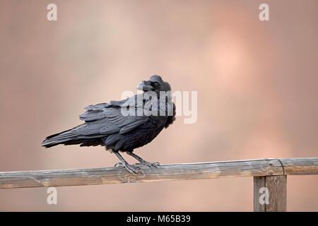 Northern Rabe (Corvus Corax tingitanus) - Stockfoto