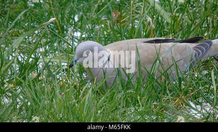 Collared dove saß im Gras, Großbritannien - Stockfoto