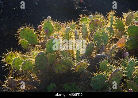Cactus Büsche in Teneriffa auf Vulkangestein Feld - Stockfoto