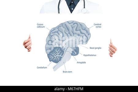 Vektor medizinischen Abbildung des Nervensystems auf weißem ...