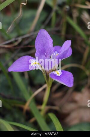 Blüten der Algerischen Iris (Iris Gladiolus), in einem Wintergarten, Februar, Großbritannien - Stockfoto
