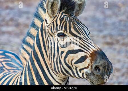 Kopf eines Zebras