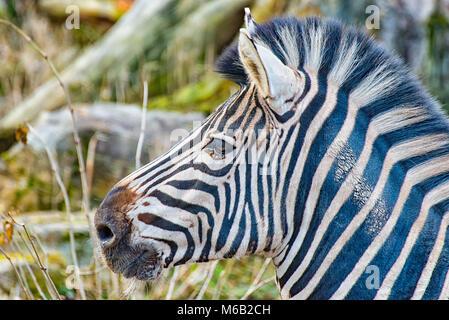 Kopf eines Zebras ICH - Stockfoto