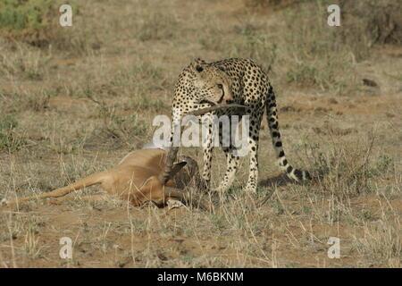 Lion big Männlichen im Herzen der afrikanischen Savanne Masai Mara Kenia - Stockfoto
