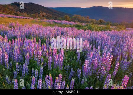 Lupine, Lupinus angustifolius, Childs Hill Prairie, Redwood National Park, Kalifornien - Stockfoto