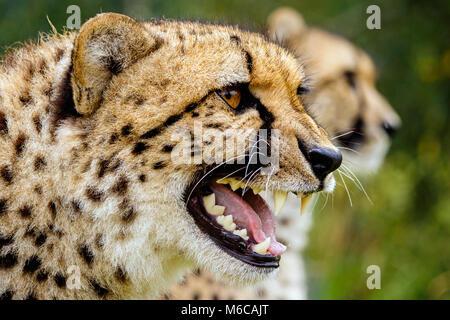 Close up knurrenden Kopf geschossen von Cheetah mit Zweiten im Hintergrund - Stockfoto